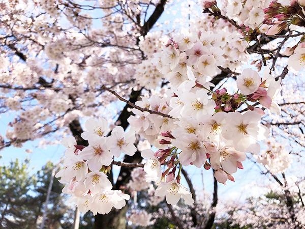 緑ヶ丘さくら公園の桜